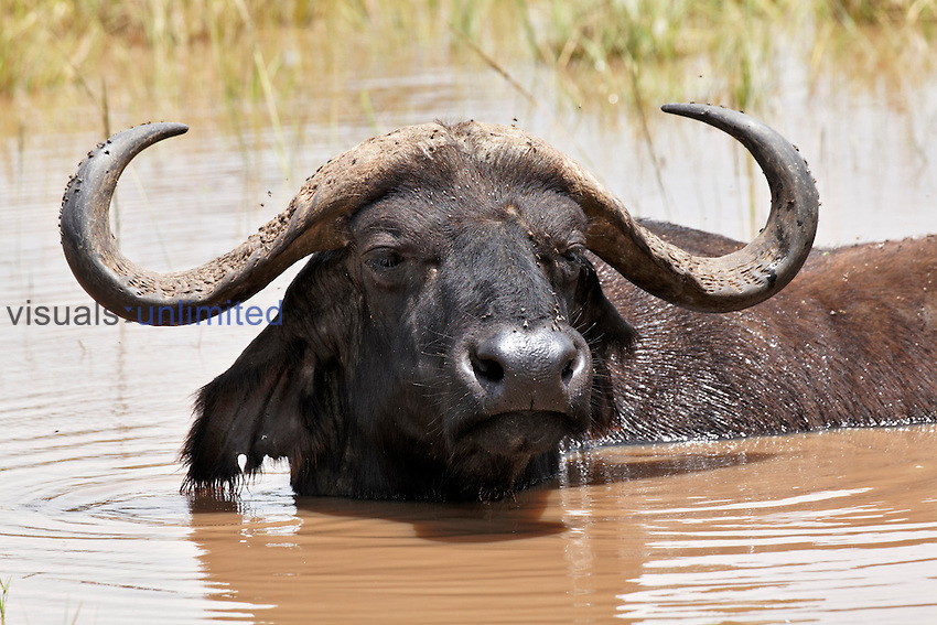 African Buffalo in water, Lake Nakuru National Park, Kenya