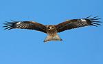 Black Kite, Milvus migrans, flying, Hokkaido Island, Japan, japanese, Asian, wilderness, wild, untamed, ornithology, bird of prey, in flight, feathers, majestic, magnificent, gliding, blue sky, raptor, scavenger.Japan....