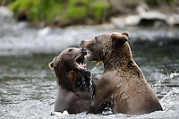 Two Grizzly Bears at the confluence of the Russian and Kenai Rivers, Kenai Peninsula, Chugach National Forest, Alaska.