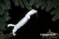 MA28-117z  Short-Tailed Weasel - ermine leaping, exploring forest in winter - Mustela erminea