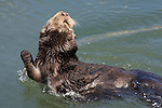 Sea otter at Moss Landing, CA