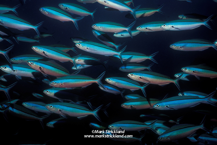 A school of Blue Streak Fusiliers, Pterocaesio tile, mill about over a deep reef. Similan Islands Marine National Park, Thailand, Andaman Sea
