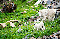 A mountain goat and kid graze along Going-to-the-Sun Road in Glacier National Park.