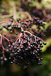 Wild elderberries growing on bush.