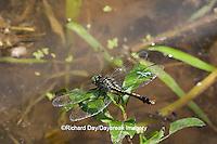 06399-001.04 Unicorn Clubtail (Arigomphus villosipes) male in wetland, Phelps Co, MO