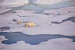 Polar bear and cubs, Arctic Canada
