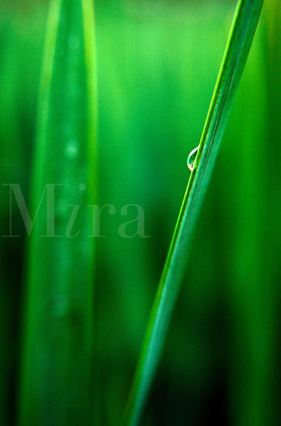 Close up detail of a drop of water on an iris leaf.