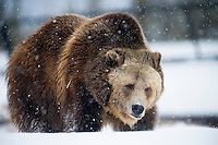 A grizzly bear walks through falling snow at the Grizzly and Wolf Discovery Center in West Yellowstone, Montana.