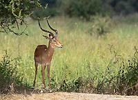 Common Impala, Aepyceros melampus melampus, in Tarangire National Park, Tanzania