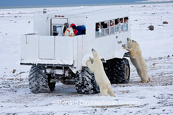 01874-11111 Polar bears (Ursus maritimus) near Tundra Buggy, Churchill, MB