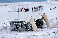 01874-11111 Polar bears (Ursus maritimus) near Tundra Buggy, Churchill, MB