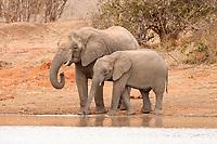 African Bush Elephant (Loxodonta africana) and calf drinking, Tshukudu Game Lodge, Hoedspruit, Greater Kruger National Park, Limpopo Province, South Africa, Africa