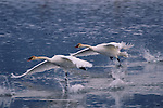 Two swans take off from Flat Creek on the National Elk Refuge in Jackson Hole, Wyoming.