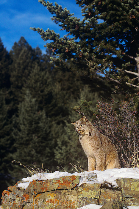 657146065 a captive canadian lynx felis lynx sits in a snowbank on a rocky lichen covered ledge surrounded by fir trees in central montana this species is endangered in the wild