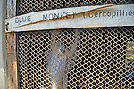 Blue Monkey At The Blantyre Zoo