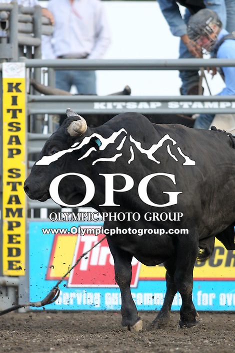 20 Aug 2014: PRCA rodeo bull Secret Stash was on hand for the Seminole Hard Rock Extreme Bulls competition at the Kitsap County Stampede in Bremerton, Washington.