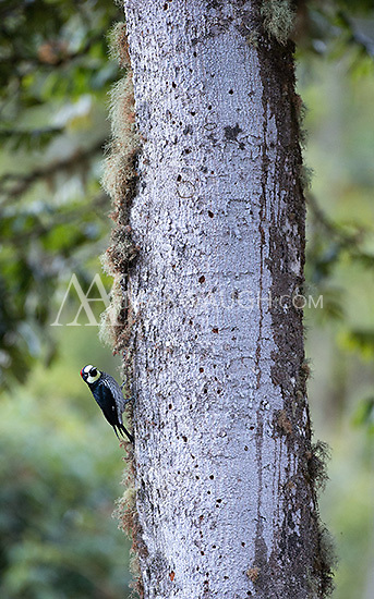 Acorn woodpeckers are common in the central highlands.
