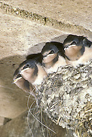 Four baby barnswallows, Hirundo rustica, lined up in their nest at the peak of the barn roof