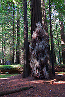 """A beautiful day in the fall at Humbolt Redwood State Park, California. A view of one of the rare albino redwoods known as the """"White Spirit"""" trees."""