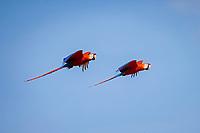 scarlet macaw, Ara macao, pair, flying, Los Lianos, Venezuela, South America