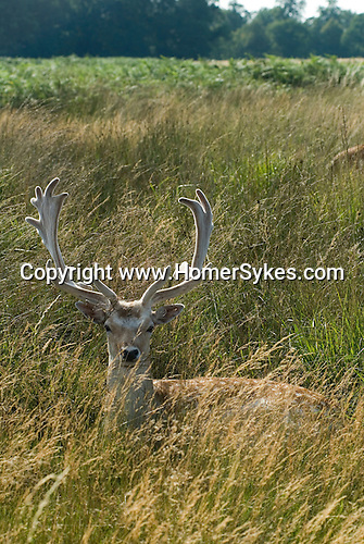 Richmond Upon Thames, Surrey, England 2007.  Young deer Richmond Park.