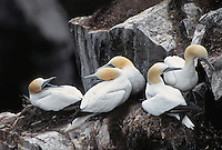 35-B04-GN-078    NORTHERN GANNETS (Sula bassanus) adults bickering in breeding colony, Cape St. Mary's Ecological Reserve, Newfoundland, Canada.