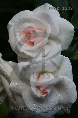 Gisela, FLOWERS, photos(DTGK1308,#F#) Blumen, flores, retrato