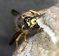 Saxon Wasp - Dolichovespula saxonica<br /> building nest