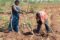 MALAWI, Salima, cassava harvest / MALAWI, Salima, Dorf Liwewe, GIZ Projekt gruene Innovationszentren, Kooperative von Kassava Farmern, Kassava Ernte