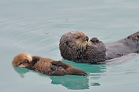 Alaskan or Northern Sea Otter mom and pup (Enhydra lutris).  At this age the baby can barely swim, can't dive at all, and while the mother feeds she leaves the pup floating while she dives for food.  Sometimes she is gone underwater for several minutes as she searches for food--mollusks, crabs, etc on the bottom--but she almost aways swims over and touches her baby between dives.