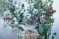 01395-02611 Northern Mockingbird (Mimus polyglottos) on stump near China Holly (Ilex cornuta) in winter Marion Co.  IL