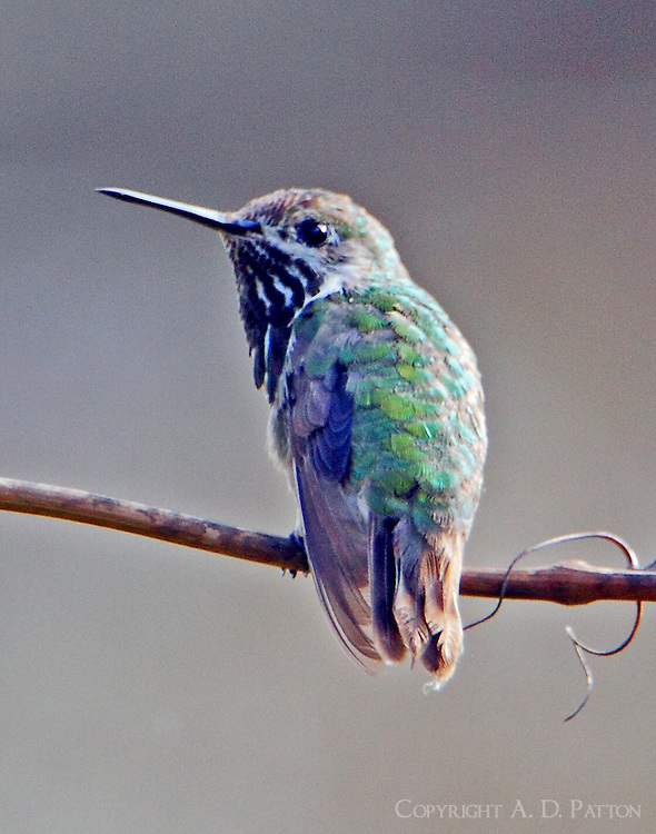 Male calliope hummingbird. Note bird is in molt with new inner primary wing feathers coming out. Picture taken December 3, 2012