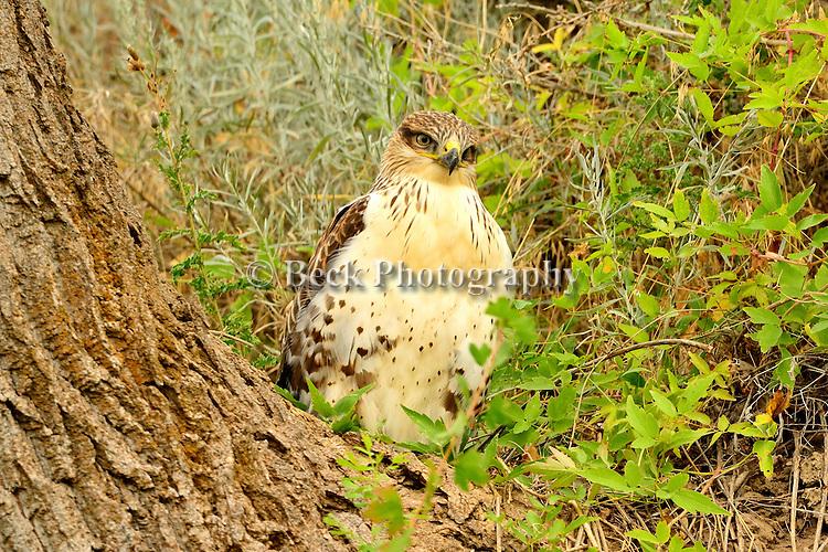 hawk on the Bighorn