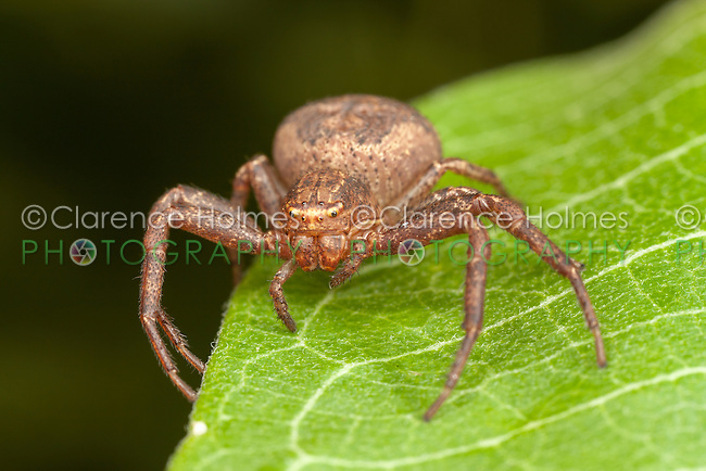 Ground Crab Spider (Xysticus ferox) - Immature Female, Ward Pound Ridge Reservation, Cross River, Westchester County, New York