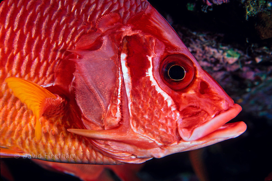 The longjaw squirrelfish, Sargocentron spiniferum, is also known as a saber squirrelfish and is the largest of this family.   Hawaii.