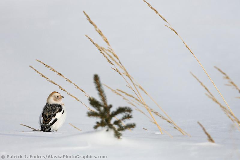 Snow bunting on snow, Arctic, Alaska.