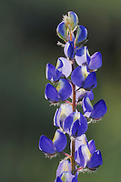 Desert Lupine (Lupinus sparsiflorus), blooming, Organ Pipe Cactus National Monument, Arizona, USA