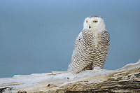 Snowy Owl (Bubo scandiacus) perched on coastal driftwood. Ocean County, Washington. March.
