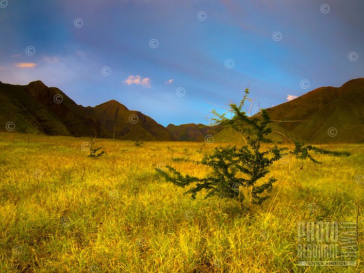 A small tree grows in a vast green field in Lahaina, with clouds flowing over the distant mountains of northern Maui.