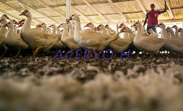 Granja P&eacute;rola, especializada em cria&ccedil;&atilde;o de patos.<br /> Um dos principais itens da culin&aacute;ria amaz&ocirc;nica, o pato, foi trazido do continente asi&aacute;tico para cria&ccedil;&atilde;o dom&eacute;stica durante o Brasil colonial. <br /> Vigia, Par&aacute;, Brasil.<br /> Foto Tarso Sarraf<br /> 27/08/2016