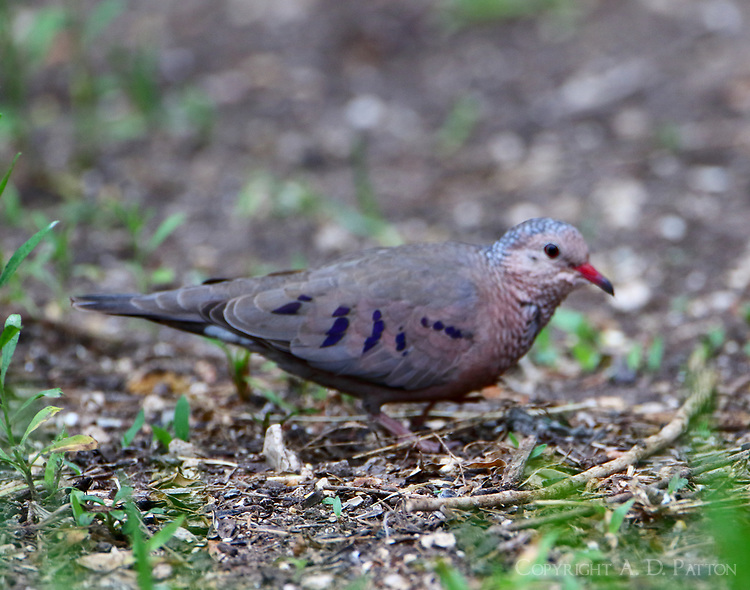 Common ground-dove adult