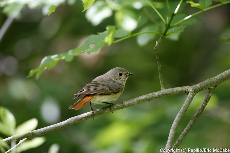 Female Redstart, Phoenicurus phoenicurus, Glenartney, Perthshire, Scotland, perched in tree branch