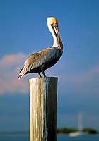 USA, Florida, Pelikan | USA, Florida, Pelican