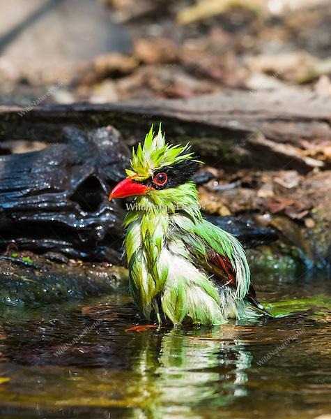 A Green Magpie (Cissa chinensis) bathing at a watering hole, (Kaeng Krachan, Thailand)