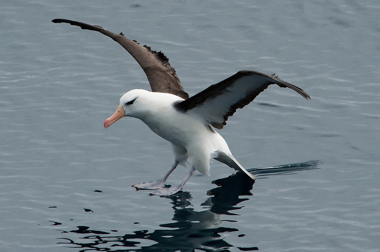The Black-browed Albatross or Black-browed Mollymawk, Thalassarche melanophrys, Drake Passage, Antarctica