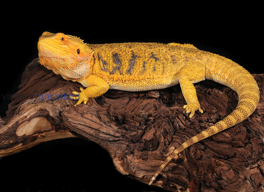 Bearded Dragon (Pogona vitticeps), captive.