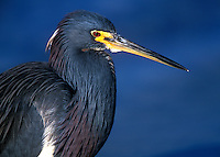 Tricolored Heron in blue water, portrait, Ft. Desota Park, breeding plumage, St. Petersburg, Florida