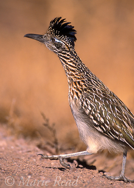 Greater Roadrunner (Geococcyx californianus) showing zygodactyl foot structure (2 toes in front, 2 behind), New Mexico, USA<br /> Slide B69-65
