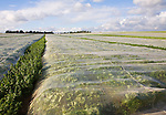 Protective fleece material covering a crop of turnips growing in a farm field, Hollesley, Suffolk, England