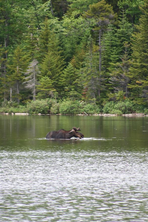 Baxter State Park moose at Sandy Stream Pond